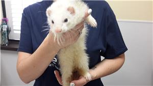 Ferret reclaimed at shelter
